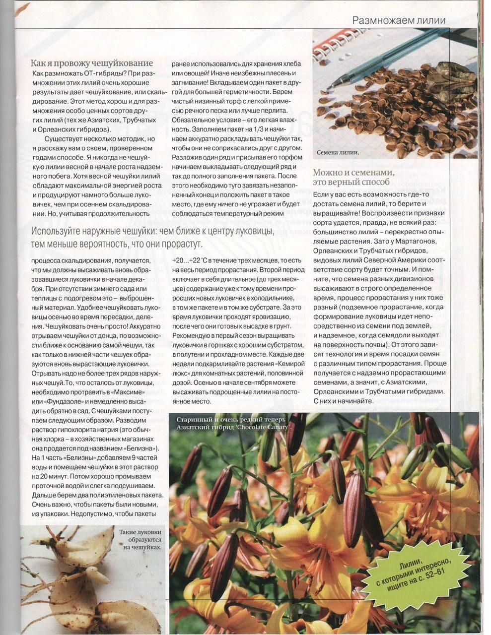 Выращивание лилий чешуйками 80